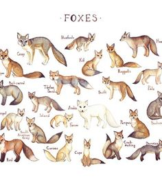 Foxes-of-the-world-field-guide-art-print-dolamore-1437670748