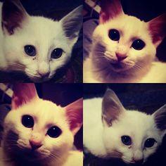 大きくなりました🙌💙 #太ったね🐷  #猫#子猫#白猫#さらん#愛猫  我が家に着て#3ヶ月🏠😸✨ うちに来たときは#三ヶ月 の#オチビちゃん 今では#6ヶ月 になり…  まだまだ#ヤンチャ の#甘えん坊😆 早いなぁ⤴⤴⤴ いつも#癒し と#笑顔 と#幸せ を#ありがとう☺  #大好きな大切な家族😊 これからもよろしくね😚💕 この子のお陰で、なんとか頑張れます💙