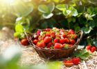 Strawberry field on fruit farm. Fresh ripe organic strawberry in white basket next to strawberries bed on pick your own berry plantation. Strawberry Bush, Strawberry Balsamic, Strawberry Plants, Types Of Strawberries, Strawberry Pictures, Cake Aux Olives, All Fruits, Citrus Fruits, Delicious Fruit