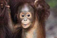 Bornean orangutan baby Thor, aged eight to nine months, holds onto his mother at Camp Leakey, Tanjung Puting National Park, Central Kalimantan, Borneo, Indonesia