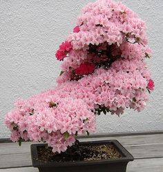 Cherry Blossom bonsai, tree, Japan, Nature