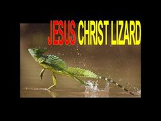 ▶ 60+ Seconds of Jesus Christ Lizard - YouTube