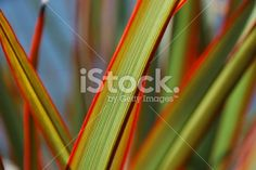 Sunlit 'Maori Queen' Flax (Harakeke) Royalty Free Stock Photo Kiwiana, Fresh Image, Abstract Photos, Image Now, New Zealand, Floral Backgrounds, Royalty Free Stock Photos, Twitter Headers, Culture