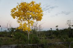 Ipê-amarelo em Apiacás - MT, para conhecer melhor o Ipê-amarelo visite: http://pt.wikipedia.org/wiki/Ip%C3%AA-amarelo-da-serra