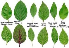 How to identify Basil Leaves