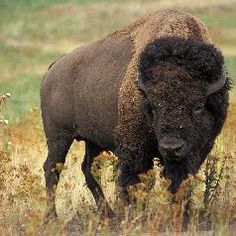 There are just four genetically pure wild and free-roaming American bison herds left. For more info, see: http://www.infobarrel.com/The_Last_Remaining_Genetically_Pure_American_Bison_Herds