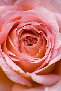 "Amelia heath garden, 1, cross villas, shropshire: Close up of centre of pink rose - rosa ""abraham derby"".  Photo by: Clive Nichols."