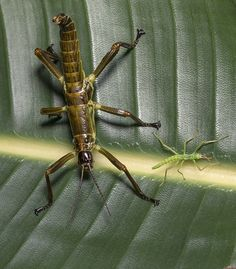 BIG CHANGES | As Lord Howe Island stick insects grow larger, they also grow darker—gradually turning brownish black.
