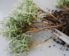 Bilderesultat for topiary trimming