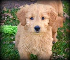 Oh my cuteness!! its a Goldendoodle!