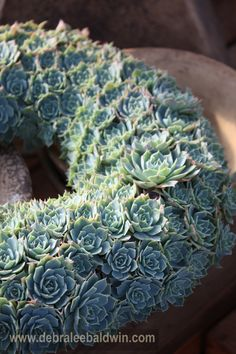 Echeveria wreath by Succulent Gardens, Castroville, CA