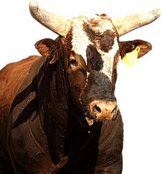 Bushwacker...American bucking bull of PBR....love him, he has such attitude and finally JB Mauney was able to ride him! The only bull rider to do so!
