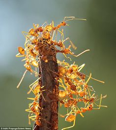 Instead of climbing back down, the determined weaver ants made their own bridge to get to the other parts of the tree