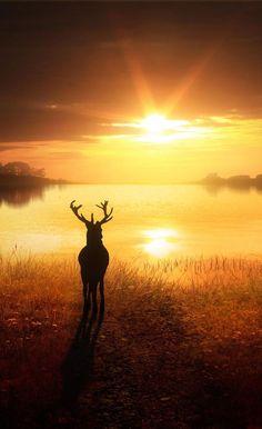 A deer under the sunset deer cute sunset lovely