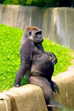 Gorila embarazada