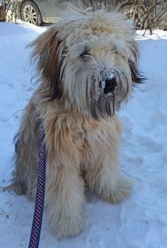 I like how this Wheaten Terrier is trimmed and his coat is left long and shaggy! Brody the Soft Coated Wheaten Terrier, LOVIN' LIFE!!