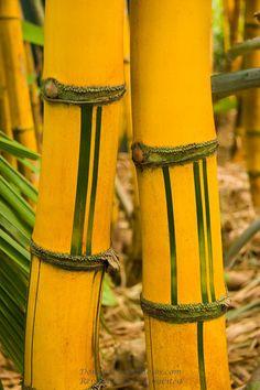 yellow color it bamboo ( tiing ampel@bali)