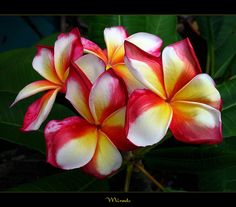 Thailand Flowers - The Plumeria Miracle by mad plumerian, via Flickr