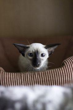ru_cats: Сиамские (ориентальные, сейшелы) котята хотят в новый дом