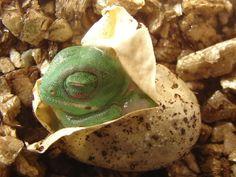 chameleon (320×240)