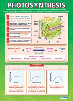 Photosynthese-Plakat - Trees and forests - Gymnasium Biology College, Biology Classroom, Biology Teacher, Ap Biology, Science Biology, Teaching Biology, Life Science, Biology Poster, Cell Biology