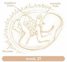 Planning for Twenty Fifth Week of Pregnancy