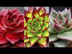 Echeveria, Buy Succulents, 35, Cactus, Landscape, Rose, Biscuit, Youtube, Gardening