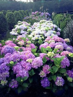 Hydrangeas & topiaries grown by HEDGE Garden Design & Nursery