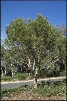 eucalyptus moorei little sally APII jpeg image of Eucalyptus moorei subsp. moorei  © contact APII