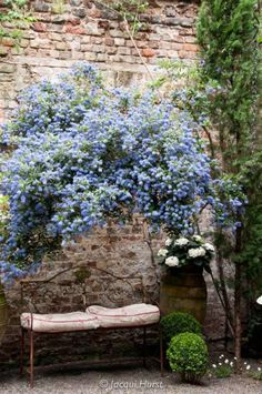 Old old brick wall with blue-blooming vine, perhaps lilac.