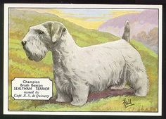 vintage card. Sealyham