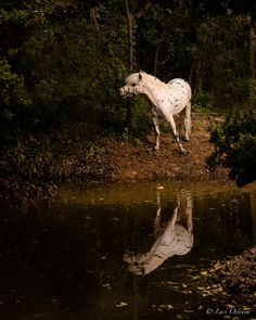 A photoshoot i had with a very nice spotted miniature horse next to a fantasy like forest. Miniature Horses, Horse Photography, Equestrian, Mystic, Giraffe, Woodland, Miniatures, Photoshoot, Fantasy