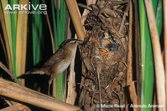marsh wren - Google Search