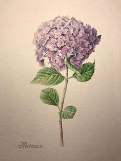 Botanical Illustration, Illustration Art, Colouring Techniques, Bedroom Art, Flower Wallpaper, Antique Prints, Watercolor And Ink, Botanical Prints, Hydrangea