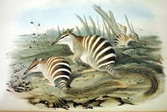 From Goulds Mammals of Australia - Numbats