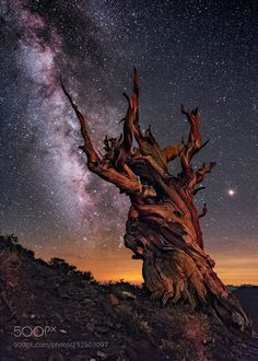 The Patriarch by WaynePinkston sky night stars california ancient pine cosmos milky way astrophotography night sky milkyway galaxy