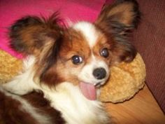 Pete: Adoptable Papillon, Dog; Butler, OH   Pete came into rescue as a breeder release. This sweet boy has only known life in a cage but adores people and attention. Pete weighs about 8 pounds and is fully vetted. He is about 7 years old and really wants a loving home willing to help him discover the life every dog deserves.