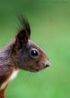 Eurasian Red Squirrel by Jesse Alveo
