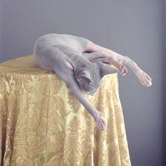 | Grey hairless sphinx cat |