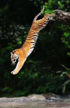 jump of the tiger