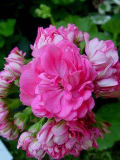 Geranium 'Norrland' Pelargonium