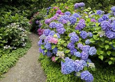 HYDRANGEA - Popular ornamental plants | kinds of ornamental plants