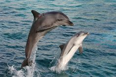 Two graceful bottlenose dolphins bow jumping out of the water.