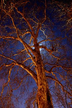 Circus Tree, Bath. By mikeleary83