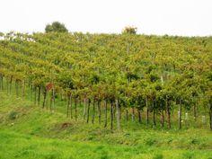Gemischter Satz vineyard in Grinzing, Vienna, from Jutta Ambrositsch's winery.