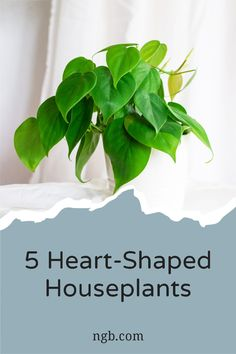 This easy to grow philodendron (Philodendron hederaceum) is perfect anywhere. Its heart-shaped leaves create a dense canopy in a pot, or insert a wooden pole to create a stunning climber. Keep it in part-shade and out of direct sunlight. Indoor Gardening, Container Gardening, Exactly Like You, Wooden Poles, String Of Pearls, Bedroom Night Stands, Bright Flowers, Climber, Garden Gifts