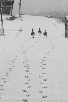 Ducks making their tracks in the snow...I absolutely adore this picture