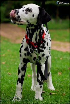 Dalmatian at Batsford Arboretum    Like and repin please :)