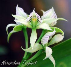 Flores de la orquídea Concha de Almeja o Brujita del Bosque, Prosthechea fragans