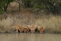 Honorable Mention: Lions drinking, Thornybush Game Reserve, Hoedspruit, Limpopo, South Africa © Kristy Robertson